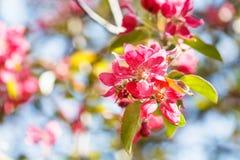 苹果树的枝杈与桃红色开花的关闭  免版税库存图片