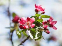 苹果树的枝杈与桃红色花的关闭  库存图片
