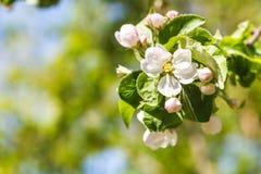 苹果树的枝杈与白色开花的关闭  免版税库存照片