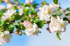 苹果树的桃红色和白色开花的开花 免版税库存照片