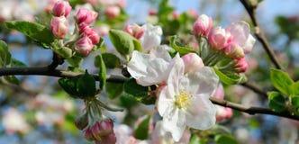 苹果树的花 浅深度的域 在f的焦点 免版税库存图片