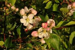 苹果树的花 库存照片
