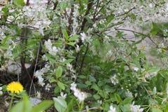 年轻苹果树看法有花的19749 免版税库存图片