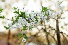 苹果树美丽的春天花在日落的 库存图片