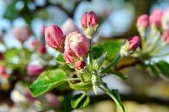 年轻苹果树花在春天庭院 免版税图库摄影