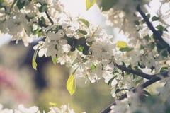 苹果树花开花在有太阳光芒和bokeh的庭院里 库存照片