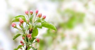 苹果树花开花宏指令视图 进展的桃红色瓣果树分支,招标被弄脏的bokeh背景 浅 库存照片