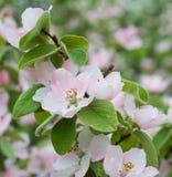 苹果树花开花 库存照片