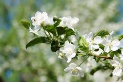 苹果树花的柔软 免版税图库摄影