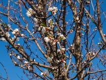 苹果树花的精美瓣 免版税库存照片