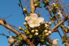苹果树花蕾春天 免版税库存照片