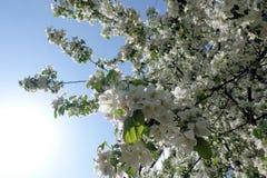 苹果树花 典型地是植物的种子轴承零件,包括生殖器雄芯花蕊和心皮 免版税库存图片