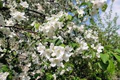 苹果树花 典型地是植物的种子轴承零件,包括生殖器雄芯花蕊和心皮 图库摄影