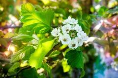 苹果树花 典型地是su植物的种子轴承零件,包括生殖器雄芯花蕊和心皮 库存图片