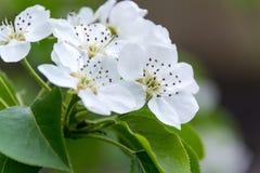 苹果树花 是植物的种子轴承零件,包括生殖器雄芯花蕊和心皮 库存照片