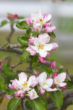 苹果树花 免版税图库摄影