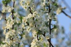 苹果树花 免版税库存照片