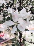 苹果树花 免版税库存图片