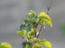 苹果树苹果绿色花 免版税库存图片