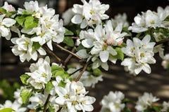 苹果树,关闭白色春天花  库存图片