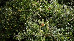 苹果树,照相机运动 股票视频