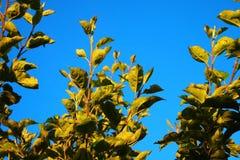 苹果树离开高悬而未决 免版税图库摄影