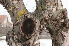 苹果树-愈合的裁减分支 库存照片