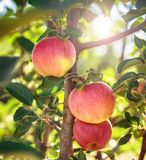 苹果树`红色首要` 免版税库存图片