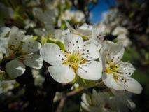 苹果树(罗盘星座domestica)的花 库存图片