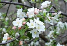 苹果树Bloming分支  免版税图库摄影