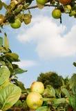 苹果框架结构树 免版税库存照片