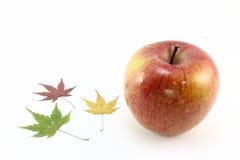 苹果槭树 图库摄影