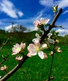 苹果深度域开花浅结构树 免版税图库摄影