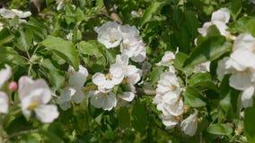 苹果深度域开花浅结构树 影视素材