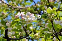 苹果深度域开花浅结构树 库存图片