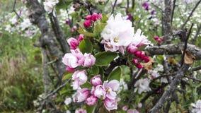 苹果深度域开花浅结构树 图库摄影