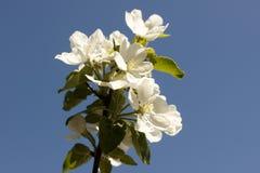 苹果的花在春日特写镜头开花 免版税图库摄影