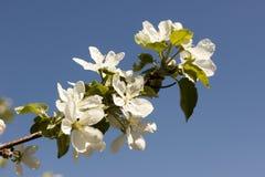 苹果的花在春日特写镜头开花 图库摄影