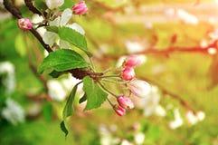 苹果的芽在春天绽放开花在软的阳光-在淡色口气的春天花卉背景下 库存图片