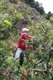 苹果种植园在哥斯达黎加 图库摄影
