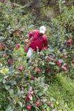 苹果种植园在哥斯达黎加 库存图片