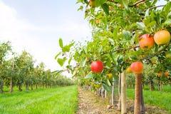 苹果种植园 免版税库存照片