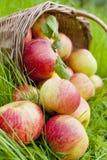 苹果篮子在草的 免版税库存照片