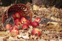 苹果篮子特写镜头在秋天森林,黄色离开背景 免版税库存照片