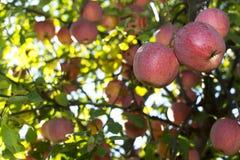 苹果红色射击结构树垂直 图库摄影