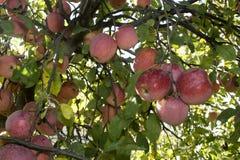 苹果红色射击结构树垂直 免版税库存图片