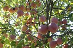 苹果红色射击结构树垂直 库存照片