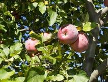 苹果红色射击结构树垂直 免版税库存照片