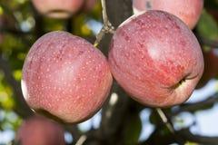 苹果红色射击结构树垂直 免版税图库摄影