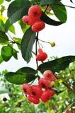 苹果红色玫瑰色结构树 库存图片